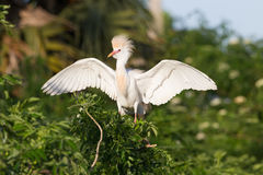Cattle Egret in the morning sun Stock Photography