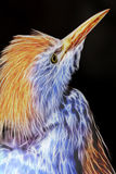 Cattle Egret Neon Closeup Portrait Royalty Free Stock Images