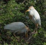 Cattle Egret Stock Photos