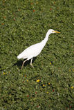 Cattle Egret - Okavango Delta - Botswana. Cattle Egret (Bubulcus ibis) in the Okavango Delta in Botswana Stock Image