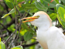 The Cattle Egret with open beak in profile Royalty Free Stock Image