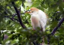 Free Cattle Egret Perched In A Tree, Closeup Stock Photos - 94393203