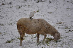 Cattle egret perched on sheep during a winter day with snow covered meadow. Cattle egrets, perched on sheep. The bird ride on the backs of the animal and feed on Stock Images