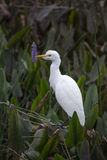Cattle Egret with Pickerel Weed Royalty Free Stock Image