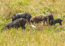 Cattle egret and pigs royalty free stock images