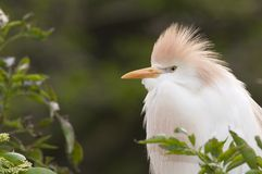 Cattle Egret portrait Royalty Free Stock Photography