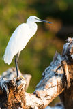 Cattle egret portrait. With blurred background stock image