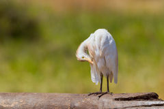 Cattle Egret, Preening Royalty Free Stock Image