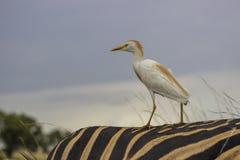 Cattle Egret on Zebra`s back stock images