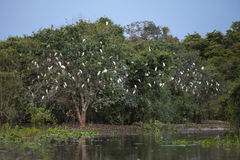 Cattle Egret Roost Along Riverbank, Wide Angle Stock Images