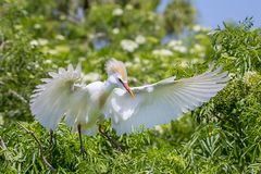 Cattle Egret With Ruffled Beeding Feathers And Wing Spread stock images