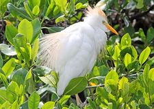 The Cattle Egret ruffled its feathers Royalty Free Stock Photos