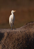 A Cattle Egret´s free ride Royalty Free Stock Photos