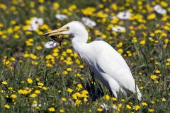 A Cattle Egret with scorpion Royalty Free Stock Photography