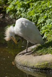 Cattle Egret scratching itself. Royalty Free Stock Photos