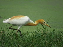 Cattle Egret in search of food Stock Images