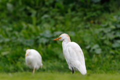 Cattle Egret searching for worms Royalty Free Stock Photography