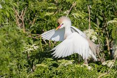 Cattle Egret Making Itself Big To Show Its Dominance. Cattle Egret showing its dominance, making itself big by opening its wings stock photos