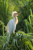 Cattle egret sitting on screw pine bush Royalty Free Stock Photo
