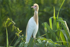 Cattle egret sitting on screwpine bush. Cattle egret- Bubulcus ibis- Cosmopolitan specie of heron(water bird)  found in tropic and sub tropic and warm temperate Royalty Free Stock Images