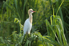 Cattle egret sitting on screwpine bush Royalty Free Stock Photos