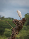 Cattle Egret sitting on tree trunk. Cattle Egret bird sitting on tree trunk outdoors, wildlife stock photos