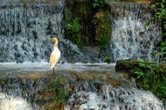 Cattle Egret. Sitting at the waterfall Stock Photography