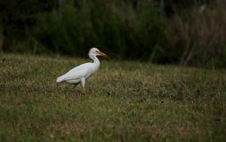 Cattle Egret. South side of Houma Louisiana Terrebonne Parish Stock Photo