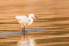 Cattle egret spearing a fish in golden water Stock Image