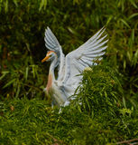 Cattle egret with spread wings royalty free stock photography