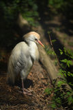 Cattle Egret Standing. In heave vegetation over dark background stock photo