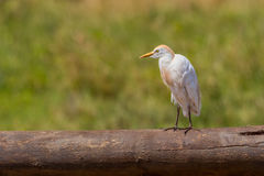 Cattle Egret Standing On Fallen Log Stock Photos