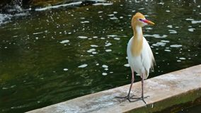 Cattle Egret. Standing and looking around stock video