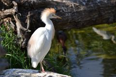 Cattle Egret standing on a rock. Cattle egret (Bubulcus ibis) standing on a rock at the side of a lake displaying its golden crown. It is found in the tropics Stock Photography