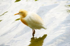 Cattle Egret. Standing on the water Stock Photos