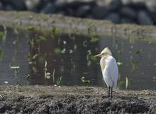 Cattle Egret ( Taiwan birds ). Royalty Free Stock Images