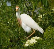 Cattle egret on tree in Florida stock photography