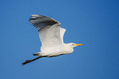 Cattle Egret Upwing Stock Photo