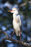 Cattle Egret in vertical photo Stock Images