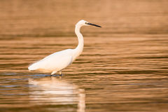 Cattle egret wading in golden water Stock Photos