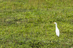 A Cattle Egret walking the grass Stock Photography