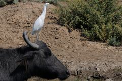 Cattle egret. On a water buffalo Royalty Free Stock Images
