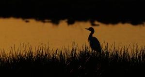 Cattle egret on a waterhole with sunset, etosha nationalpark, namibia Royalty Free Stock Photo