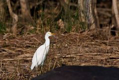 Cattle egret. Western cattle egret in South Africa royalty free stock images
