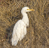 Cattle Egret. White bird in dried grass Royalty Free Stock Photo
