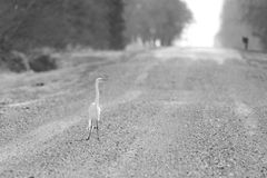 Cattle Egret. A white egret stands in the middle of the road Royalty Free Stock Images