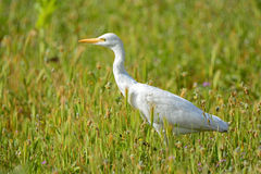 Cattle egret royalty free stock image
