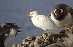 Cattle Egret in winter plumage of Gentoo penguins Stock Images
