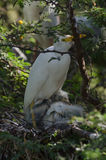 Cattle Egret with young Royalty Free Stock Photo