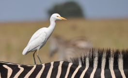 Cattle Egret on Zebra Royalty Free Stock Image